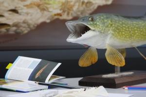 Foto des Fischereiverbandes: Hecht auf Schreibtisch